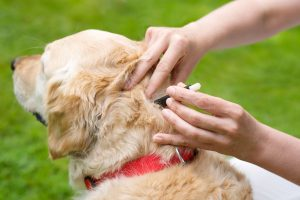 reapply flea treatment early