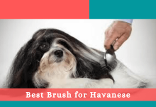 Best Brush for Havanese