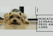 Miniature schnauzer pros and cons