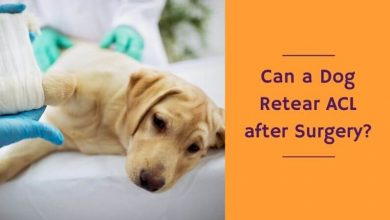 Can a dog retear ACL after surgery
